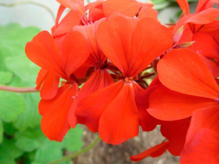 Пеларгония пачкающая (Pelargonium inquinans)