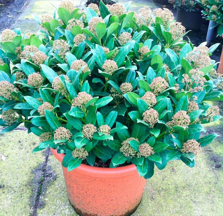 Орхидея домашняя в горшке купить в интернетмагазине Мандарин