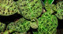 Орхидея Макодес петола
