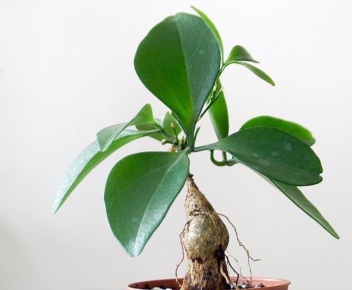 Каталог комнатных растений по алфавиту с картинками