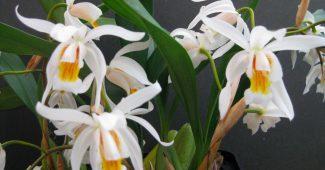 Орхидея целогина