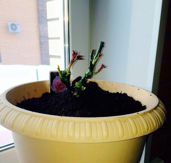 Размножение розы черенками осенью в домашних условиях