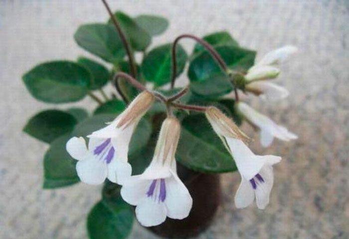 Примулина Тамиана (Primulina Tamiana)