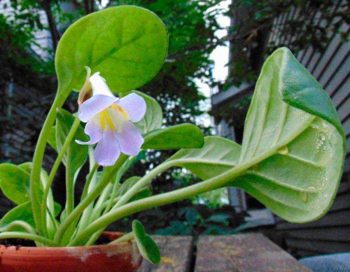 Примулина спадициформис (Primulina spadiciformis)