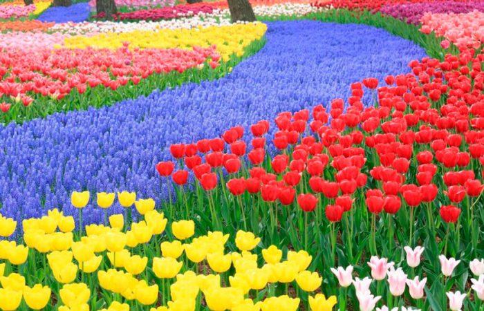 Особенности тюльпана