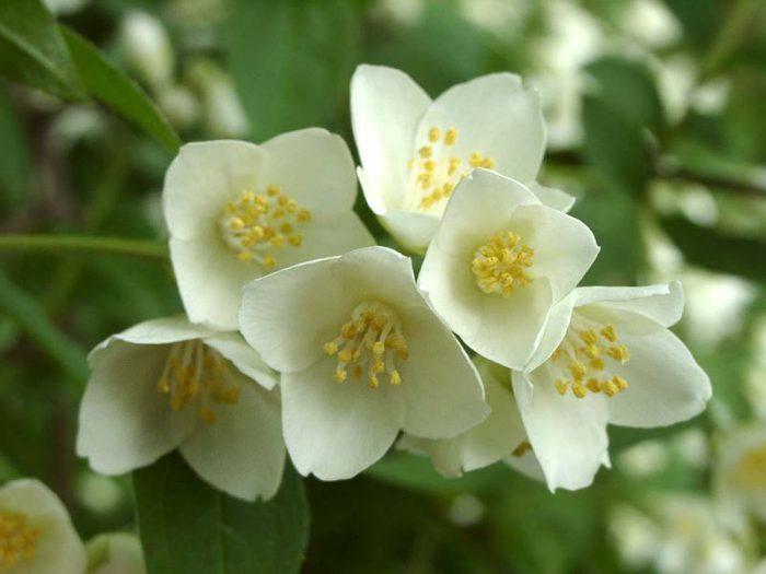 Особенности садового жасмина