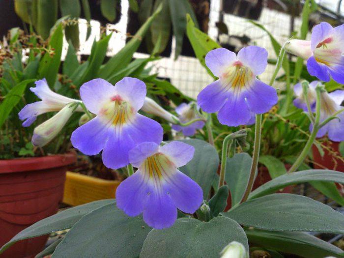 Примулина Сабромбойдза (Primulina subrhomboidea)