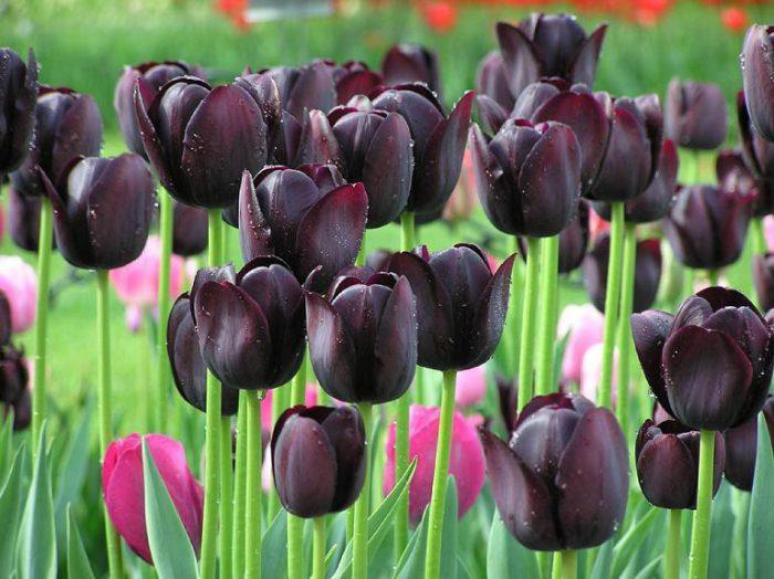 Тюльпан черного цвета