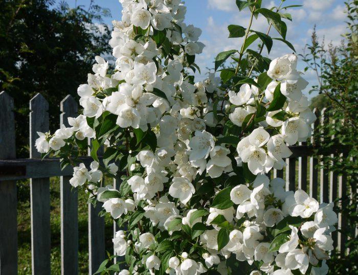 Уникальность садового жасмина