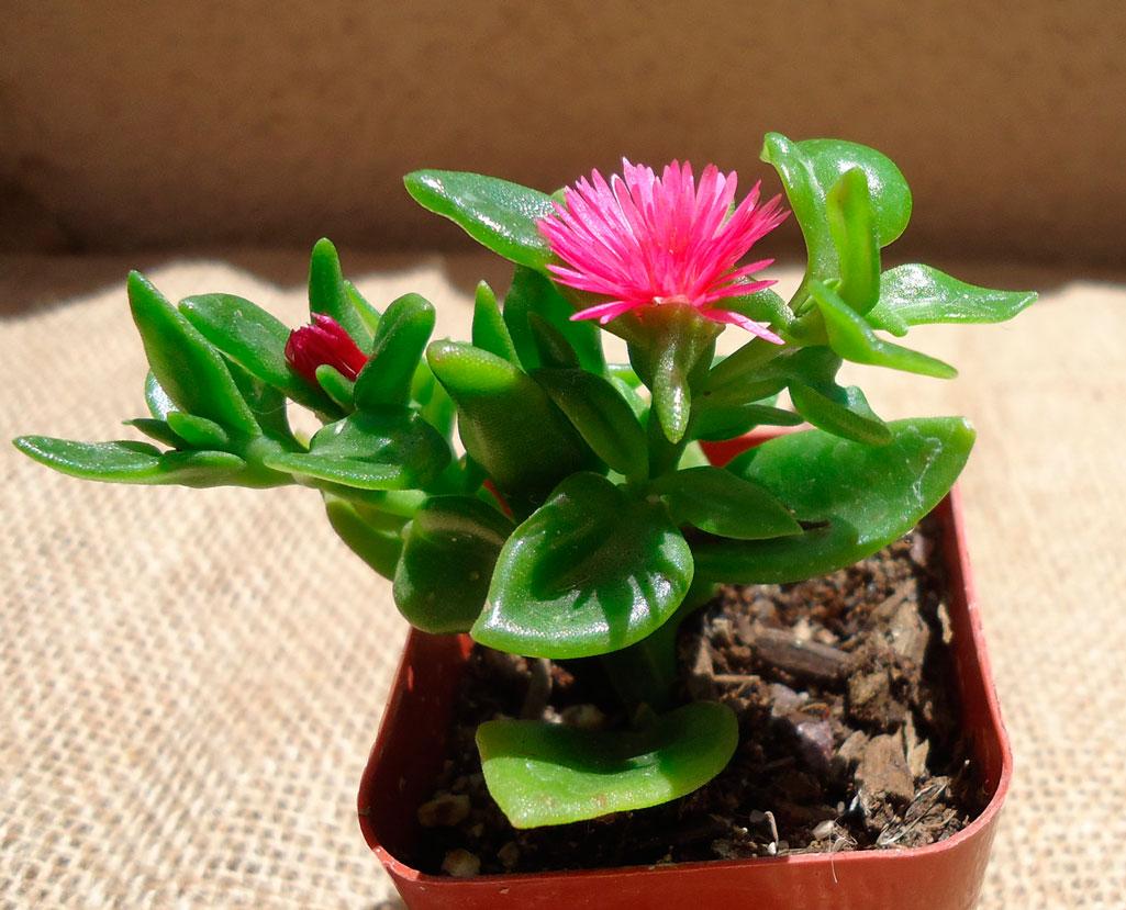 Домашний цветок суккулент