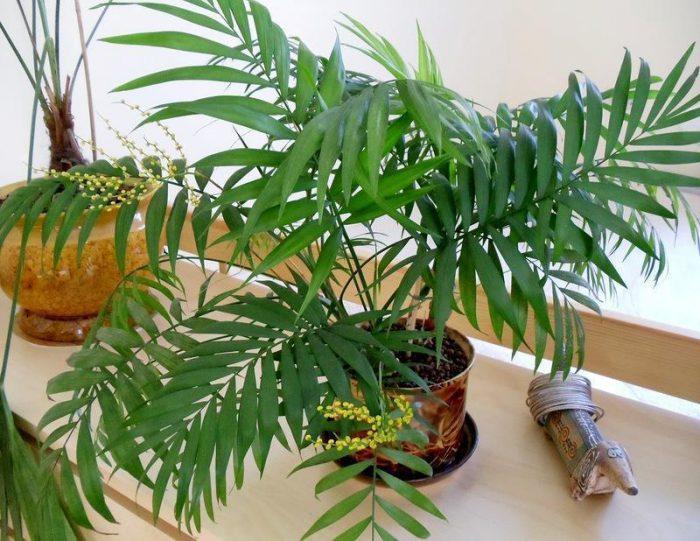 пальма неанта