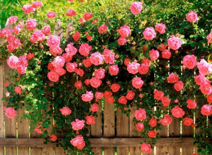 Когда можно сажать розу плетистую 570