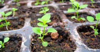 Как вырастить рассаду петунии