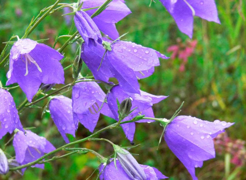 Японский колокольчик цветок
