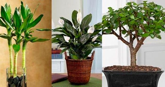 Комнатные растения приносящие удачу и богатство