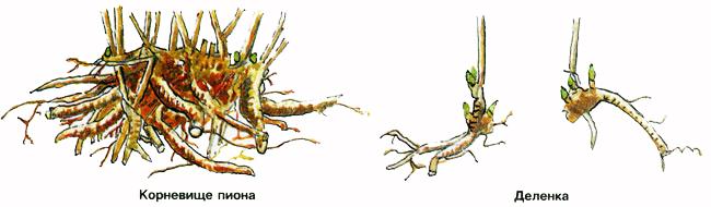 Как пересаживать пионы