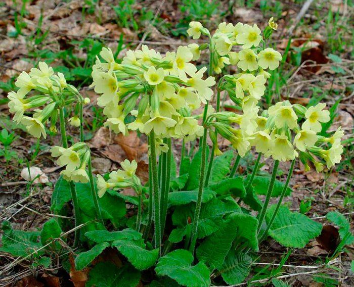 Примула высокая (Primula elatior)