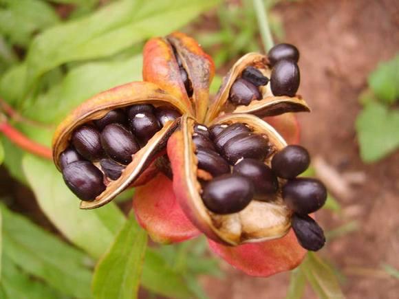 Размножение пионов семенами