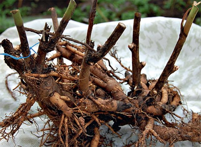 Размножение пионов корневыми черенками