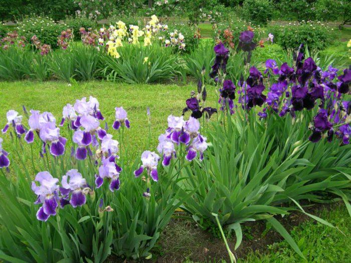 Правила ухода за садовыми ирисами