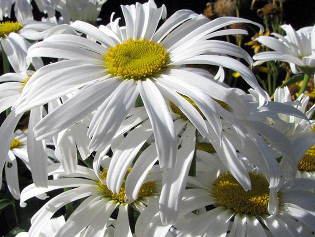 Нивяник наибольший (Leucanthemum maximum)