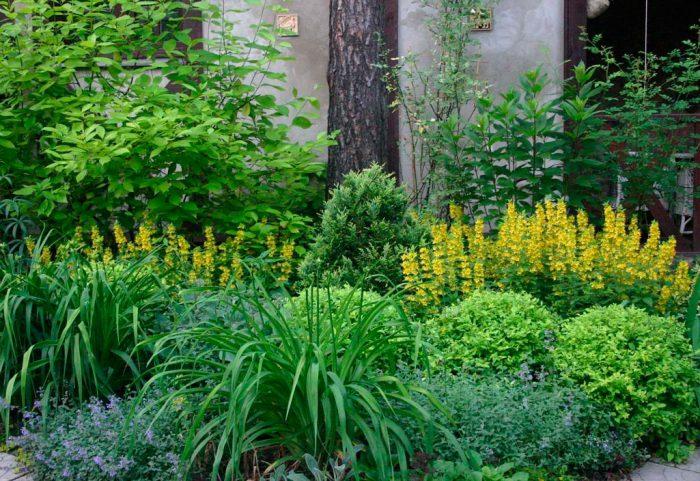Теневыносливые кустарники для сада
