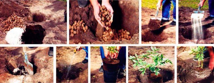 Как сажать пионы