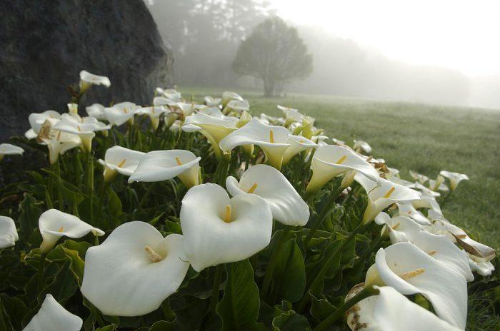 Калла эфиопская (Calla aethiopica)