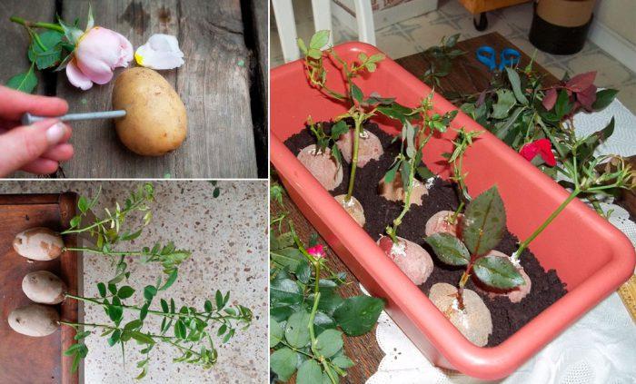 Укоренение черенков розы в картошке