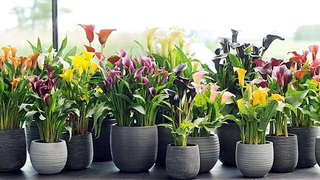 Особенности выращивания в комнатных условиях