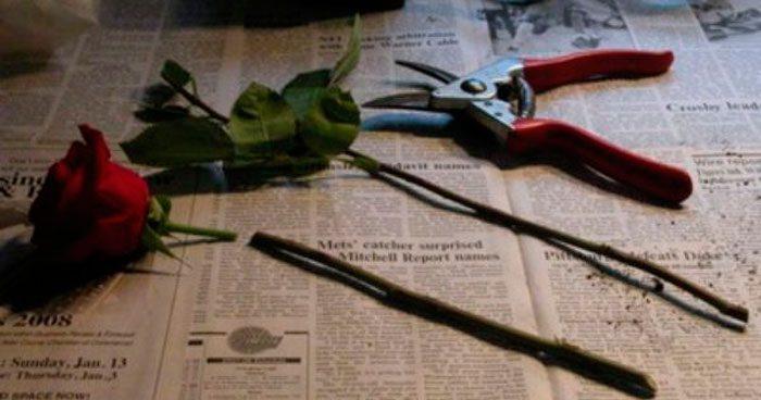 Розы из черенков букета