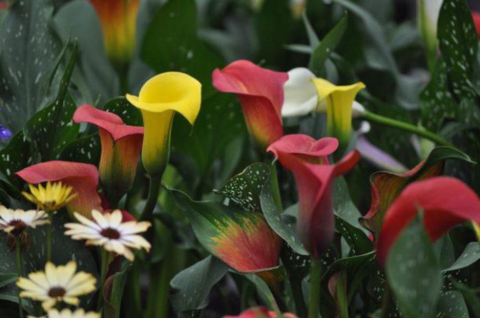 Особенности выращивания садовой каллы