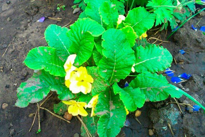 Многолетняя примула после цветения