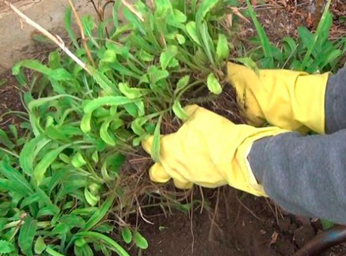 Ромашка садовая, выращивание, уход, размножение
