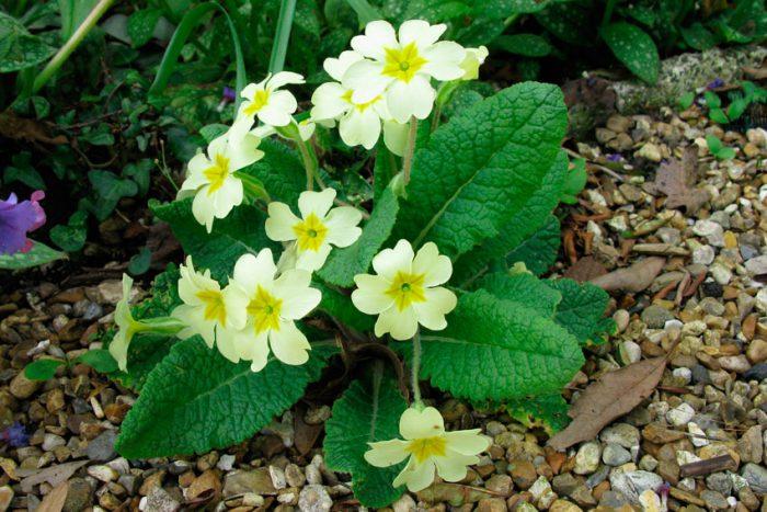 Примула бесстебельная, или обыкновенная (Primula vulgaris)