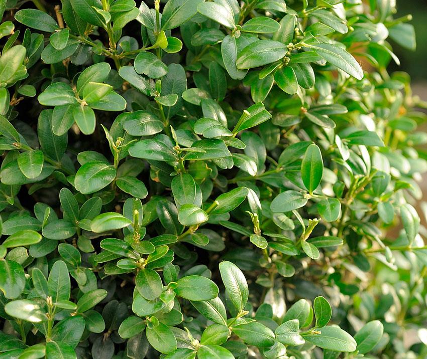 Самшит вечнозелёный: описание, посадка и уход, сорта