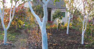 Когда и как белить плодовые деревья весной