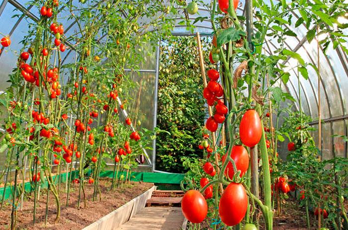 Высадка помидор в теплицу: маленькие хитрости