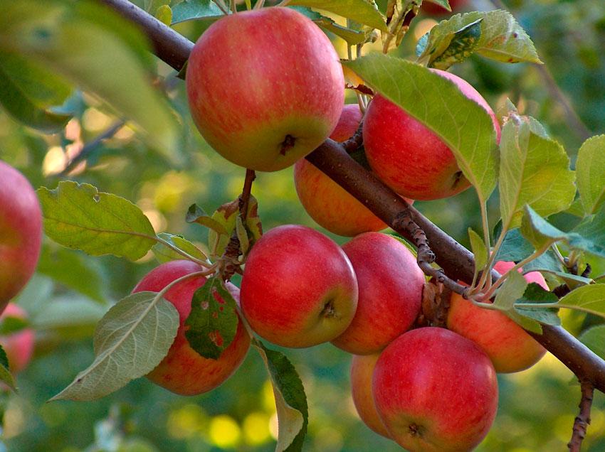 Яблоня защита отвредителей ипрофилактика заболеваний