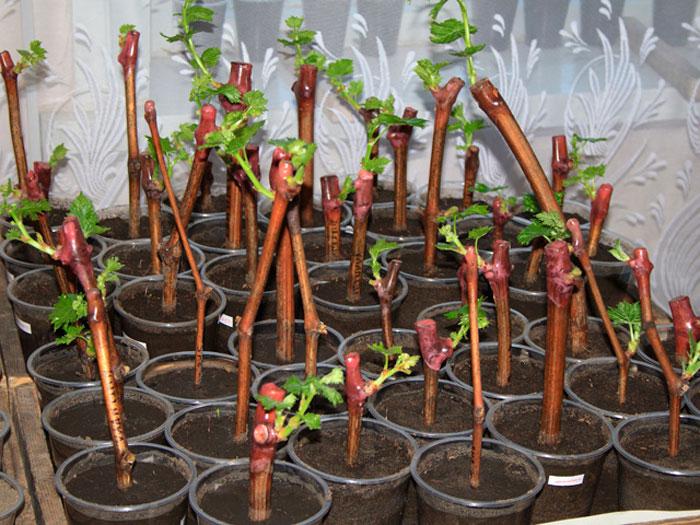 Разведение винограда черенками советы по уходу