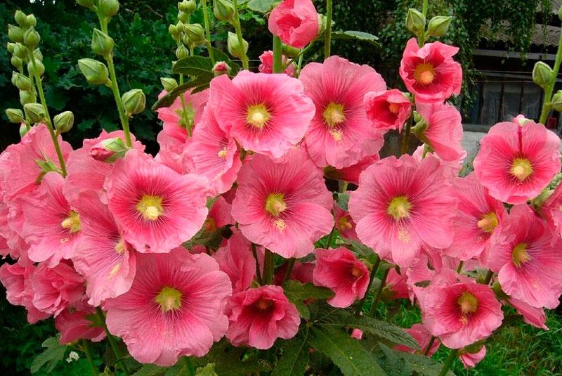 Двулетние цветы для цветника мальва и наперстянка