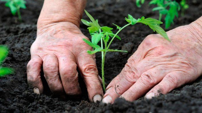 Почва для тепличных помидоров