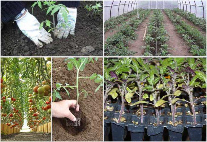 Как высаживать помидоры в теплицу
