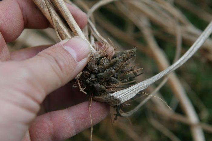 Ранункулюс после цветения