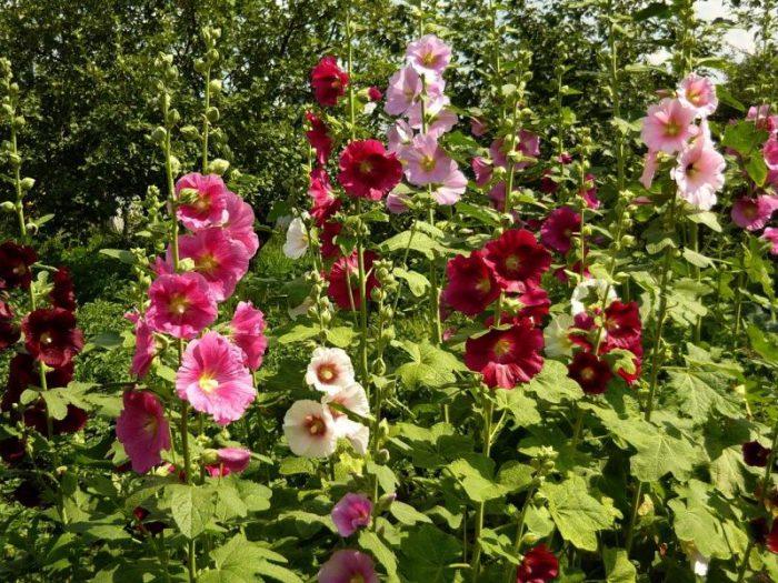 Особенности ухода в саду