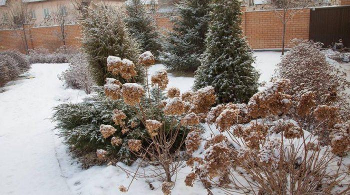 Гортензия дуболистная белоснежные купола выращивание из семян