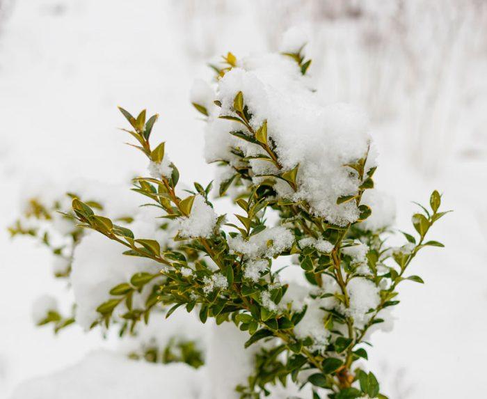 Самшит зимой