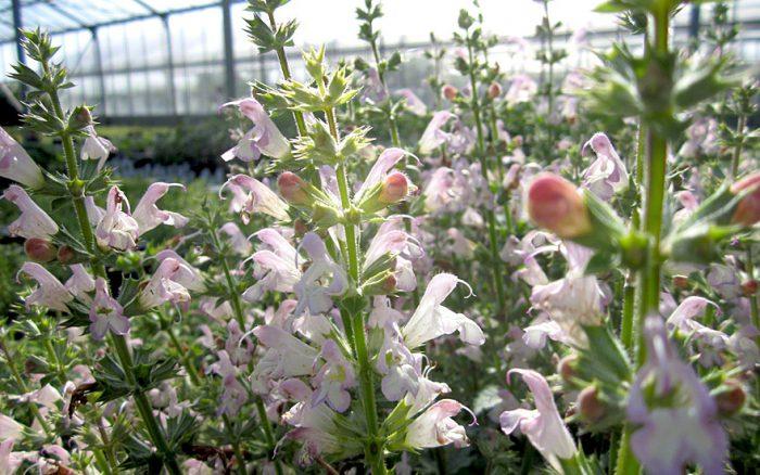 Сальвия одуванчиколистная (Salvia taraxacifolia)