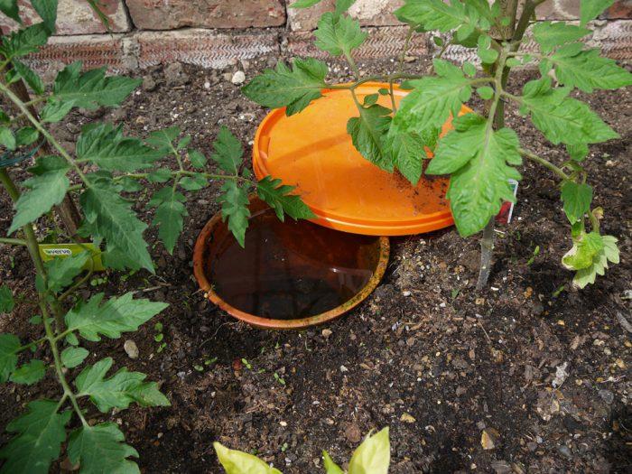 Полив помидоров в теплице