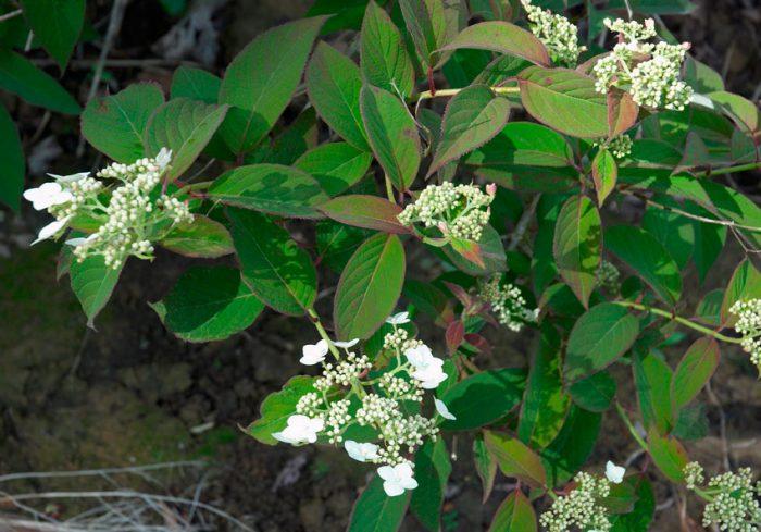 Гортензия почвопокровная (Hydrangea heteromalla)